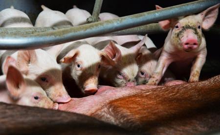 Глава управления ветеринарии объявил о 2-ой волне заражения африканской чумой свиней