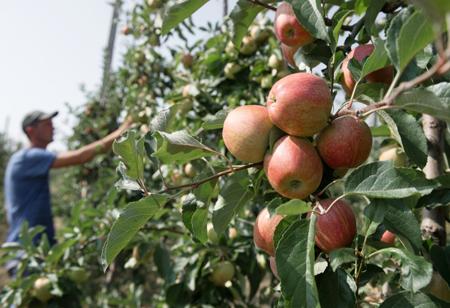 Неменее 900 гектаров новых садов заложат вДагестане осенью текущего года
