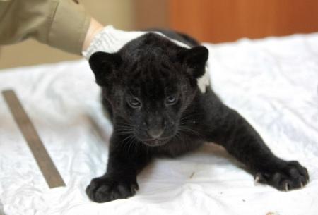 Сразу два темных ягуара родились взоопарке «Лимпопо»