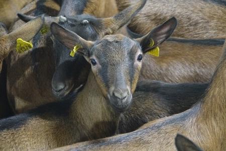 img_780441_143221484 Французские козы поселятся на Урале Люди, факты, мнения Свердловская область