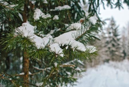 КНовому году Петербург украсят живыми елями