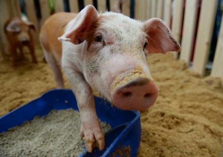 ВКрыму фермеры получат компенсации зазабитых из-за АЧС животных