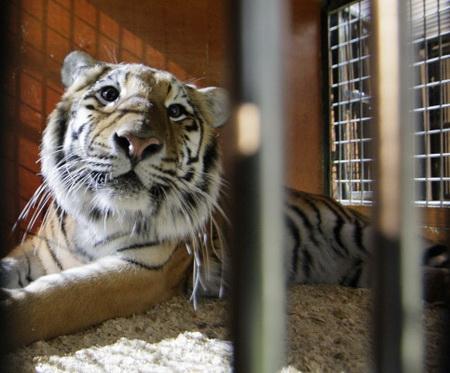 Тигр умер всхватке вХабаровском крае
