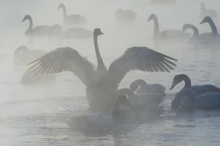 Калининградские экологи докладывают о смерти лебедей из-за разлива нефти