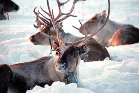 Ветеринары вЯНАО поставят метки напривитых отсибирской язвы оленей