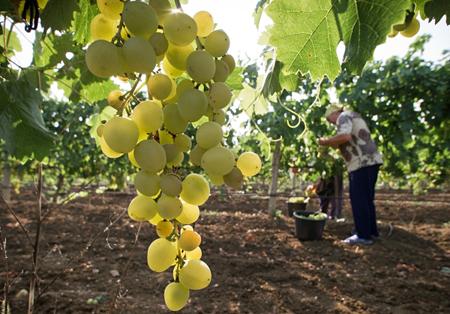 Компания изКраснодарского края вложит 1 млрд руб. ввиноградники вКрыму