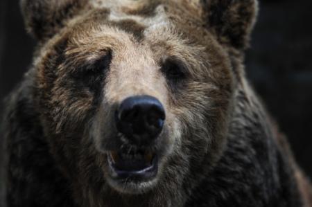 Новосибирские ученые восстановили родственные связи старинных медведей, живших вСибири