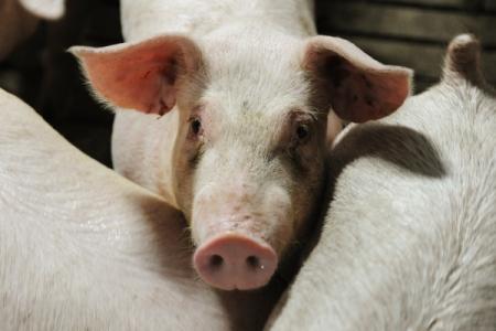 Вспышка африканской чумы свиней зафиксирована вУсть-Лабинском районе