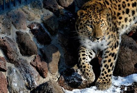 Крупнейший центр сохранения редких кошек открывается на«Земле леопарда»