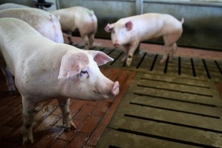 Омская чума свиней пошла поСибири