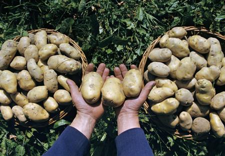 Брянская область хочет увеличить производство картофеля на13% в текущем 2018