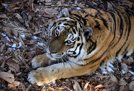 Тигр украл быка у многодетной семьи на юге Хабаровского края