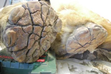 Учёные обнаружили в Якутии хорошо сохранившиеся останки древних существ