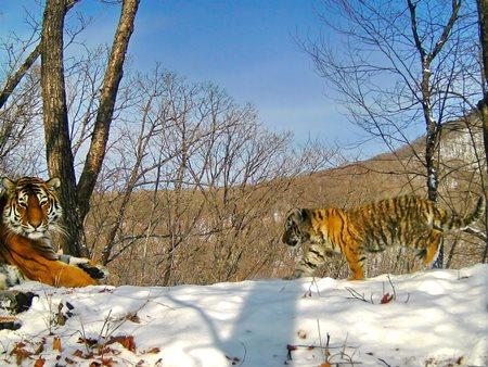 Семья амурских тигров вышла на дорогу к людям в Приморье