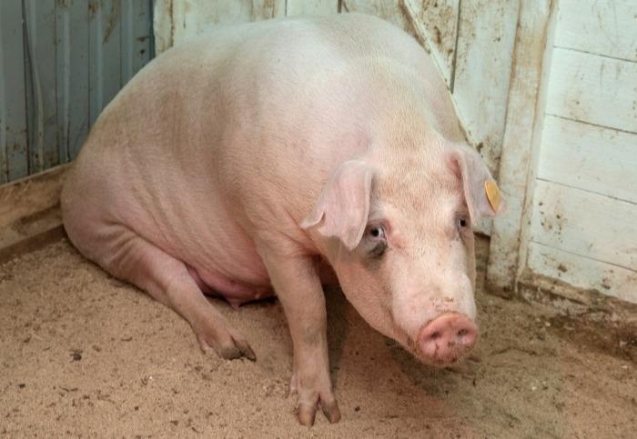 Очаг африканской чумы свиней обнаружен в Еврейской АО