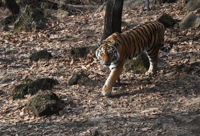 Ученые получили новые данные о миграции амурского тигра в Приморье