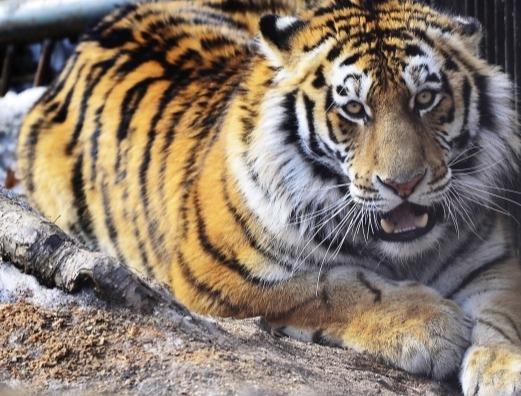 Истощенную и обмороженную тигрицу спасли в Хабаровском крае